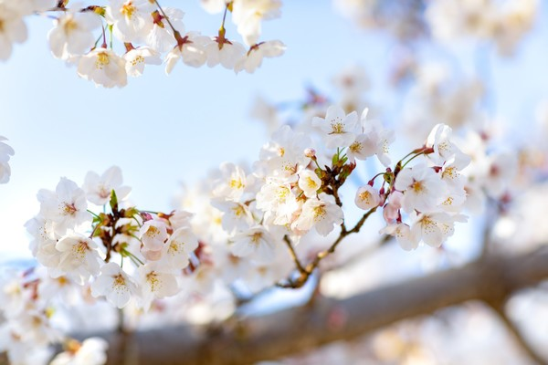 桜の開花✾サムネイル
